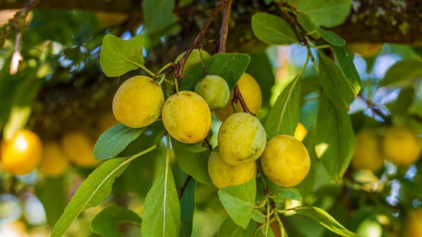 Mirabellensindrelativ reich an Kalium. Kalium ist wichtig für die Funktion von Herz und Nerven. Die Früchte enthalten außerdem die Mineralstoffe Magnesium und Phosphor sowie das Spurenelement Zink.