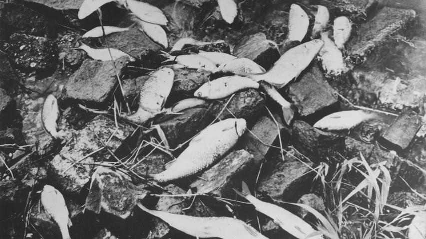 Die Verschmutzung der mittelfränkischen Flüsse hat ein erschreckendes Ausmaß angenommen. Gewaltige Fischsterben kennzeichnen die Zivilisation. Indes: nur die Angler scheinen den Skandal zu bemerken. 2.000 Petrijünger in Nürnberg, 15.000 in ganz Mittelfranken, schlagen Alarm.Hier geht es zum Kalenderblatt vom 3. Juli 1971: Neue Wasserpolizei paßt auf.