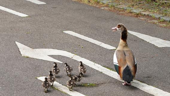 Fränkische Schweiz: Entenfamilie verursachte Auffahrunfall