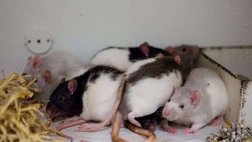 Gleich 17 Ratten verschiedenen Alters, Geschlechts und mit unterschiedlichenFarben befinden sich im Tierheim. Die intelligenten Tiere sollen in der Gruppe gehalten werden, deshalb werden sie nur zu bereits vorhandenen Tieren oder paarweise vermittelt. Auch hier beruft sich das Tierheim auf die Tierärztliche Vereinigung für Tierschutz: Die Käfiggröße sollte für bis zu drei Ratten mindestens 100 mal 50 Zentimeter Grundfläche mit einer Höhe von 100 Zentimetern mit mehreren Etagen betragen. Diese müssen solide sein. Erhöhte Ebenen, die aus Gittermaterialien bestehen, sind ungeeignet. Zur Mindestausstattung gehören Tränke, schwerer Futternapf, mehrere Schlafhäuschen, Kletteräste, Leitern, Seile, Hängematten und Liegebretter in verschiedenen Ebenen. Außerdem werden Holz- und Pappröhren als Versteck empfohlen. Handelsübliche Laufräder sind allesamt zu klein und ungeeignet. Zur Ausstattung des Nests bietet sich unbedruckter und unparfümierter Zellstoff und für den Käfig Kleintierstreu, Heu oder Stroh an. Zur Bereicherung des Alltags gibt man den Tieren mindestens wöchentlich frisches Nagematerial. Albinoratten müssen mit ihren lichtempfindlichen Augen in einem dunkleren Raum untergebracht werden.  Mehr Informationen gibt es beim Tierheim Nürnberg, Stadenstraße 90, 90491 Nürnberg, Telefon (0911) 919890.