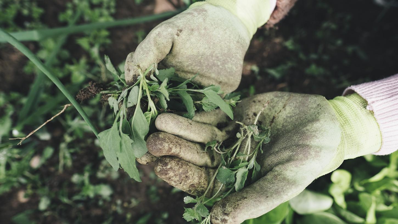 Unkraut ist Gärtnerinnen und Gärtnern ein Dorn im Auge.