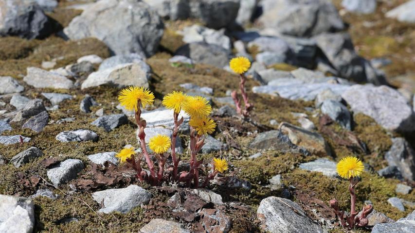 Wo das Eis verschwindet, erobert sich die Flora neue Lebensräume.