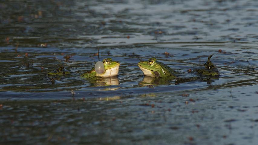 An den Karpfenteichen am Ortsrand von Heilsbronn ist derzeit bis in die Nacht hinein ein lautstarkes Quaken der Frösche zu hören.Mit der Abendsonne sind die Frösche dazu auch noch recht fotogen.