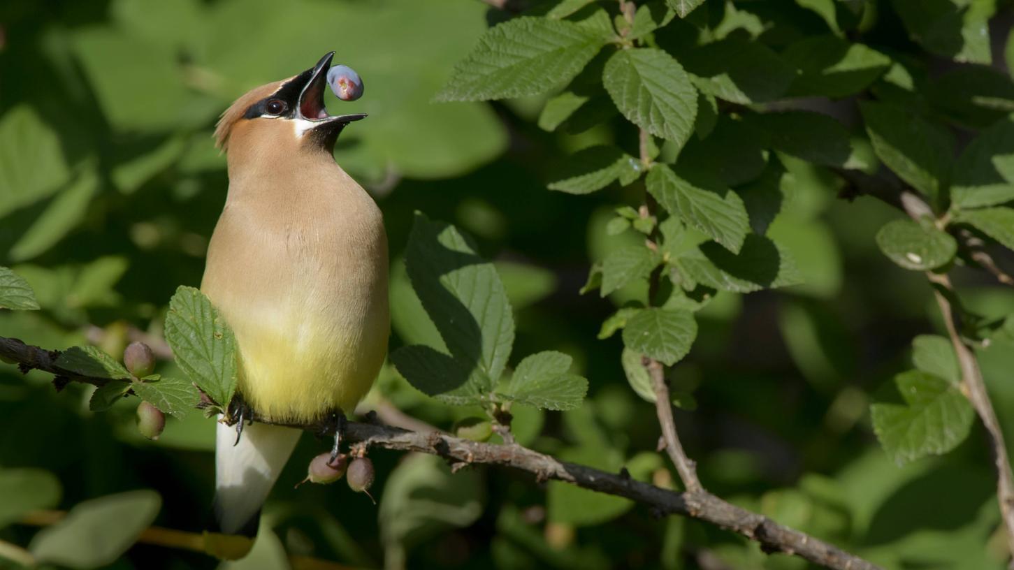 Haskap-Beeren schmeckennatürlich auch Vögeln.