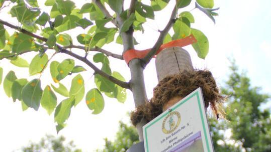 Auf der Streuobstwiese am Gauchsbach wachsen alte Obstbaumsorten wie Apfelquitte, Doppelte Phillipsbirne oder Büttners Rote Knorpelkirsche. Sie sollen nun auch in bis zu 100 Feuchter Gärten wieder heimisch werden.