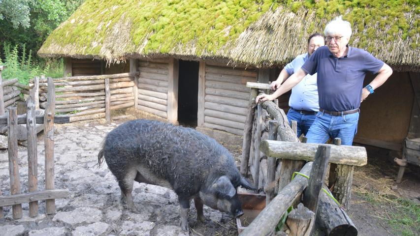 Um die Wollschweine hatte sich Museumsleiter Dr. Herbert May am Freitag Sorgen gemacht. Es geht ihnen aber gut.