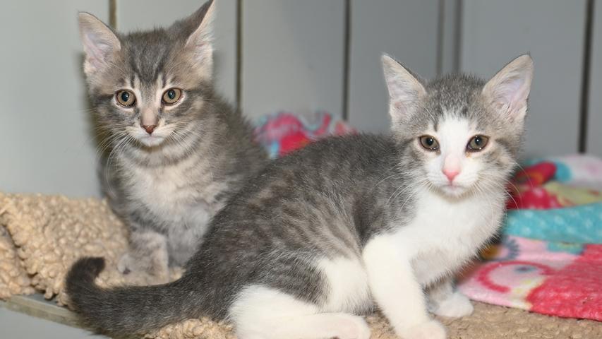 """Die beiden kleinen grauen Katerchen """"Berni"""" und """"Pauli"""" wurden im Alter von etwa vier Wochen in der Nähe von Neumarkt mutterlos aufgefunden, doch dann stellte sich heraus, dass es doch eine Katzenmutter gab, die ihren Nachwuchs suchte. Leider war die Katzenmutter eine dieser wilden, herrenlosen Katzen, aber nachdem die kleinen Kätzchen von niemand so liebevoll umsorgt, gesäugt und geputzt werden können wie von der Katzenmutter, wurde die Katzenmutter zum Zwecke der Familienzusammenführung mit einer Lebendfalle eingefangen und die Freude war groß, als die kleine Familie wieder vereint war. Inzwischen sind die Kleinen etwa acht Wochen alt und sie sind in Kürze auf der Suche nach einem neuen, gemeinsamen und für Katzenkinder passenden Wirkungskreis. Es ist davon auszugehen, dass die Geschwisterchen später einmal, wenn sie groß genug sind, Freiheitsdrang entwickeln werden, so dass das neue Zuhause unbedingt verkehrsberuhigt liegen sollte, um den Katzen Streifzüge durch das Revier zu ermöglichen.Um die Ausbreitung der Pandemie nicht zu fördern und um unsere Mitarbeiter und Besucher zu schützen, wurde das Tierheim Neumarkt komplett für Besucher, Gassigeher und Katzenstreichler geschlossen. Um den Tieren jedoch nicht die Chance auf ein neues Zuhause zu verbauen, finden Tiervermittlung und Beratung dennoch telefonisch beziehungsweise nach vorheriger Terminvereinbarung zwischen 14.30 und 17 Uhr unter Telefon (0 91 81) 2 28 62 statt. In Notfällen und im Falle von Fundtieren ist das Tierheim ebenfalls unter dieser Telefonnummer erreichbar. Hier geht es zur Internet-Seite des Tierheims"""