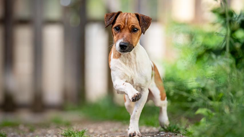 """Seit Mai ist Jack Russell Terrier Goofy im Tierheim. Für den fünf Jahre alten Rüden werden Menschen gesucht, die ihn fördern und vor allen Dingen normal behandeln. """"Denn Mitleid allein reicht nicht"""", sagen die Mitarbeiter. Das aber weckt der Jack Russell Terrier bei vielen, denn er hat ein Handicap. Weil Goofy Hirnmasse im Kleinhirn fehlt, hat er neurologische Ausfälle. Das sorgt dafür, dass der kleine Hund zittert, zuckt oder umfällt. Immerhin: Medikamente nimmt Goofy außer Vitamin B keine. Zwar ist er nicht ganz stubenrein, sondern pinkelt ab und zu auch innen. Aber er ist verschmust, aktiv, ist einfallsreich, lernt schnell, mag Kinder und Hunde. Auch mit Katzen sah es gut aus. Er fährt Auto und kann alleine bleiben. Aber in einem Laufstall.  Mehr Informationen gibt es beim Tierheim Nürnberg, Stadenstraße 90, 90491 Nürnberg, Telefon (0911) 919890."""