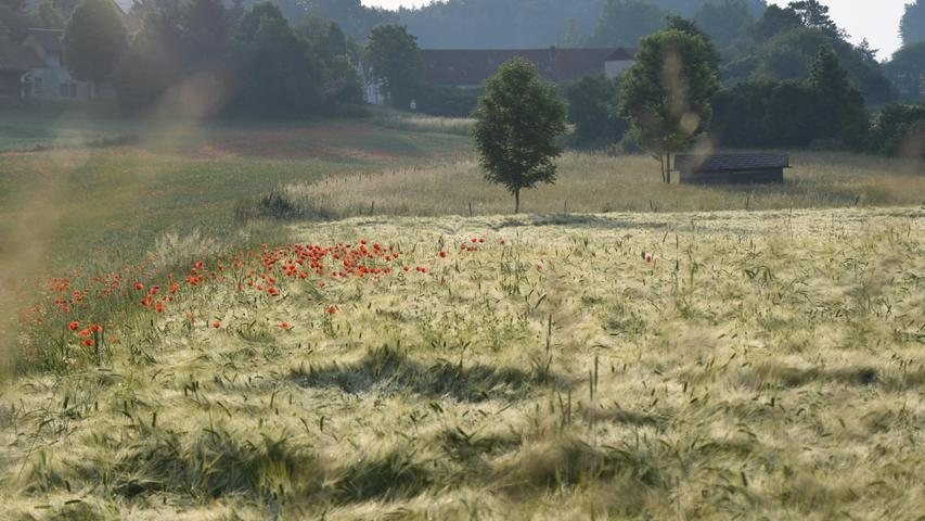 Ein Getreidefeld im Morgentau in der Nähe von Bronn (bei Pegnitz).