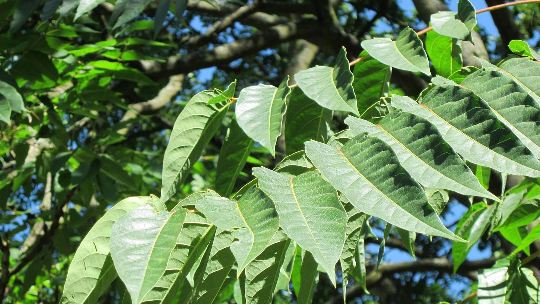 Götterbäume können bis zu 20 Metern hoch werden.