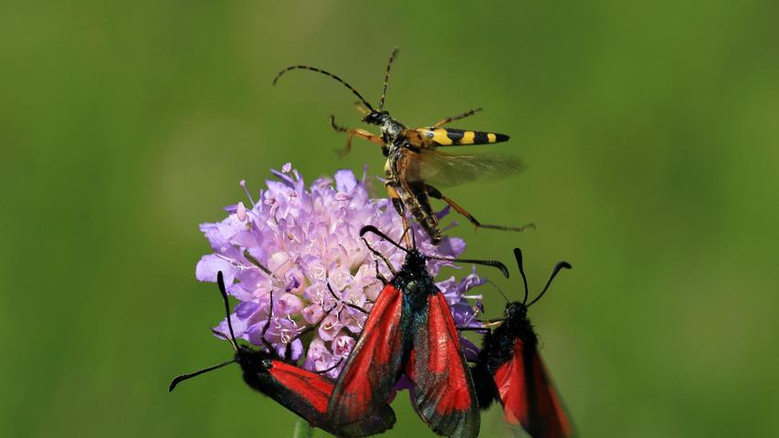Andrang beim Nektarschlürfen.Auf der Blüte der Wiesen-Witwenblume wird es dem GeflecktenSchmalbock-Käfer wegen des Andranges durch die drei Thymianwidderchen-Schmetterlinge zu eng und er sucht das Weite.