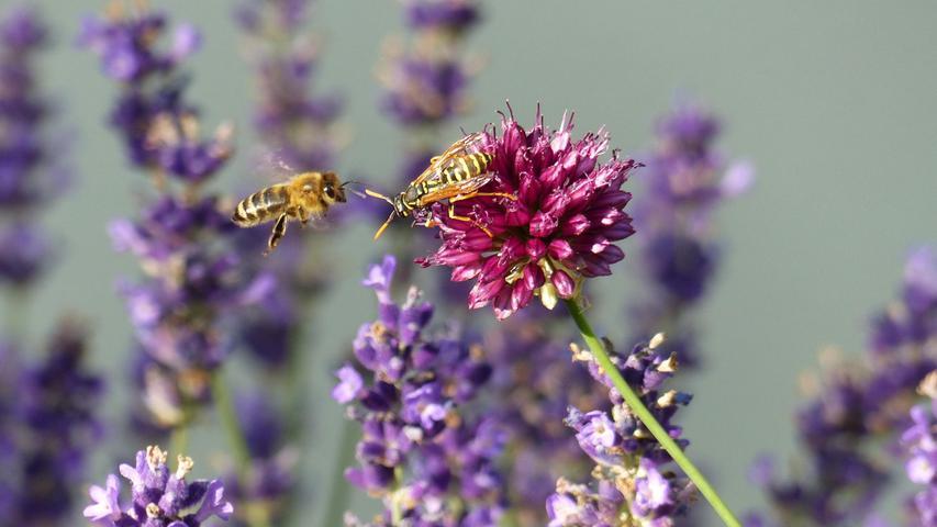 Dieser Kampf um den besten Platz für den Nektartrank ging zunächst zugunsten der Wespe aus. Später saßen Biene und Wespe dann doch vereint jede auf ihrer Seite auf der Lauchblüte…