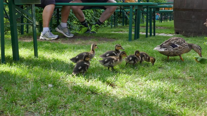 Martin Landeck aus Pretzfeld hatnicht nur in seinem Garten, sondern auch im Wiesentgarten in Ebermannstadt tierischen Nachwuchs eingefangen:Kücken. Dort hat eine Ente ihren Nachwuchs zwischen den Bierbänken ausgeführt.