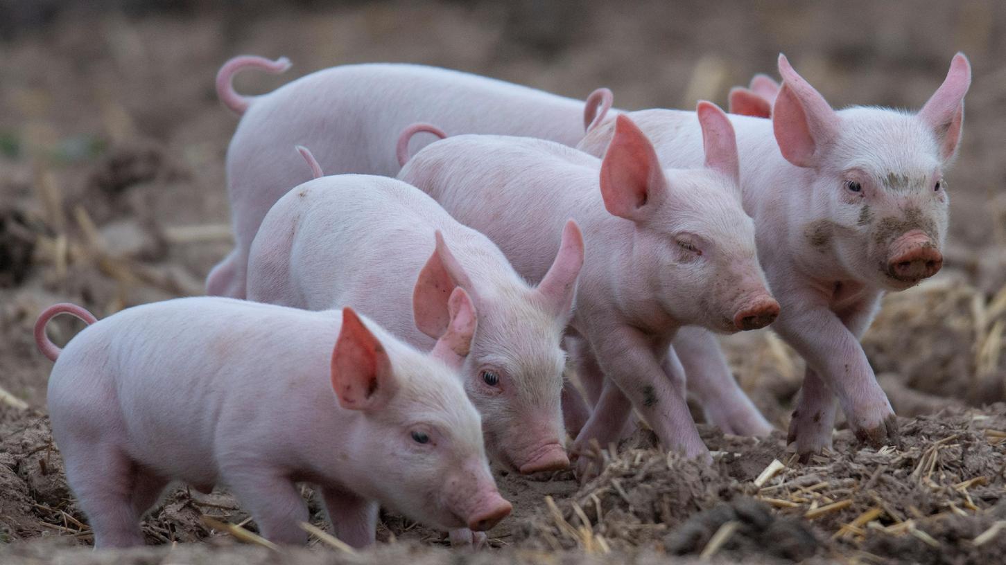 So gut haben es die meisten Schweine nicht: Diese Tierewachsen unter ökologischen Bedingungen in Freilandhaltung auf.