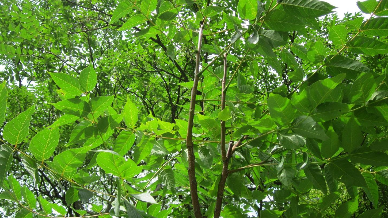 Ein ausgewachsener Götterbaum ist bis zu 20 Metern hoch.