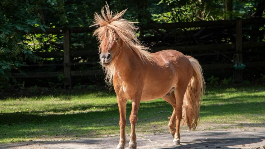 Mit dem richtigen Rhythmus klappt's auch mit der Frisur: Ein Pony im Nürnberger Tiergarten.