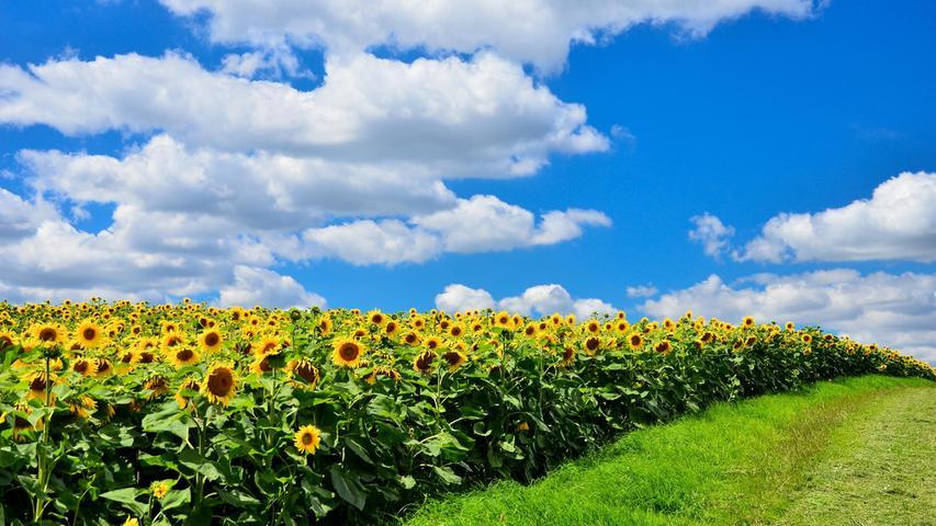Mehr Sommer geht nicht: Ein Sonnenblumenfeld vor blauweißem Himmel bei Iphofen.
