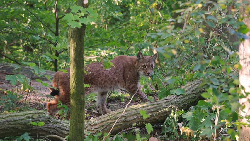 Nach Luchs-Ausbruch: Wie sicher ist Nürnbergs Tiergarten?