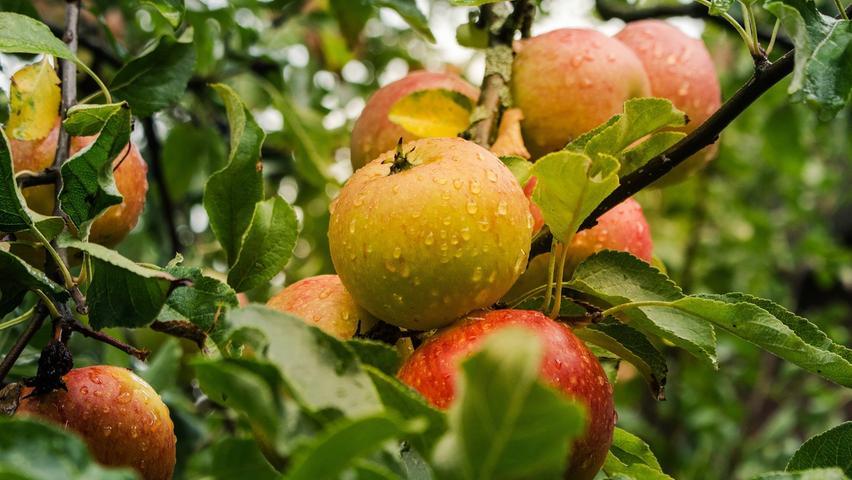 Äpfeleignen sich für einegesundeErnährung, denn sie enthalten viele Vitamine, Mineralstoffe und Spurenelemente. Außerdem enthalten sie Antioxidantien, die die Zellen vor freien Radikalen schützen. DerApfelist in Deutschland das beliebteste Obst: Im Durchschnitt isst jeder 30 Kilogramm oder etwa 125Äpfelpro Jahr.