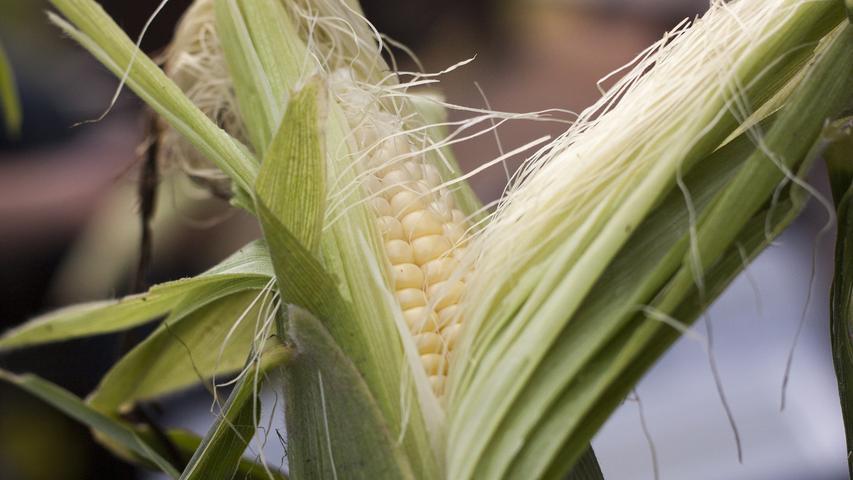 Mais eignet sich durch seinen Anteil an Ballaststoffen, aber auch an Kalium, Magnesium, Mangan und Vitaminen, einschließlich Vitamin B9,optimal für einegesundeund ausgewogene Ernährung. Ein weiterer Vorteil:Maisist glutenfrei.