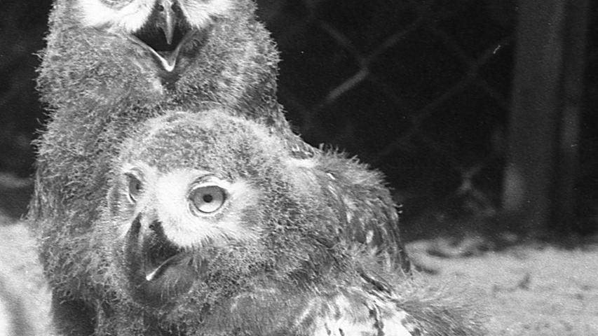 Zur Geisterstunde in der Nacht zum nächsten Freitag wird der schon seit langem ersehnte Zuwachs für den Nürnberger Tiergarten erwartet: fünf Delphine aus Florida. Mit einem Lastwagen werden sie nachts aus Frankfurt abgeholt. Hier geht es zum Kalenderblatt vom1. August 1971: Die Delphine kommen um die Geisterstunde.