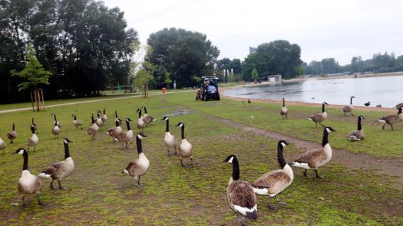 Durch Corona: Gänse am Wöhrder See werden zur Plage - Stadt hilflos?
