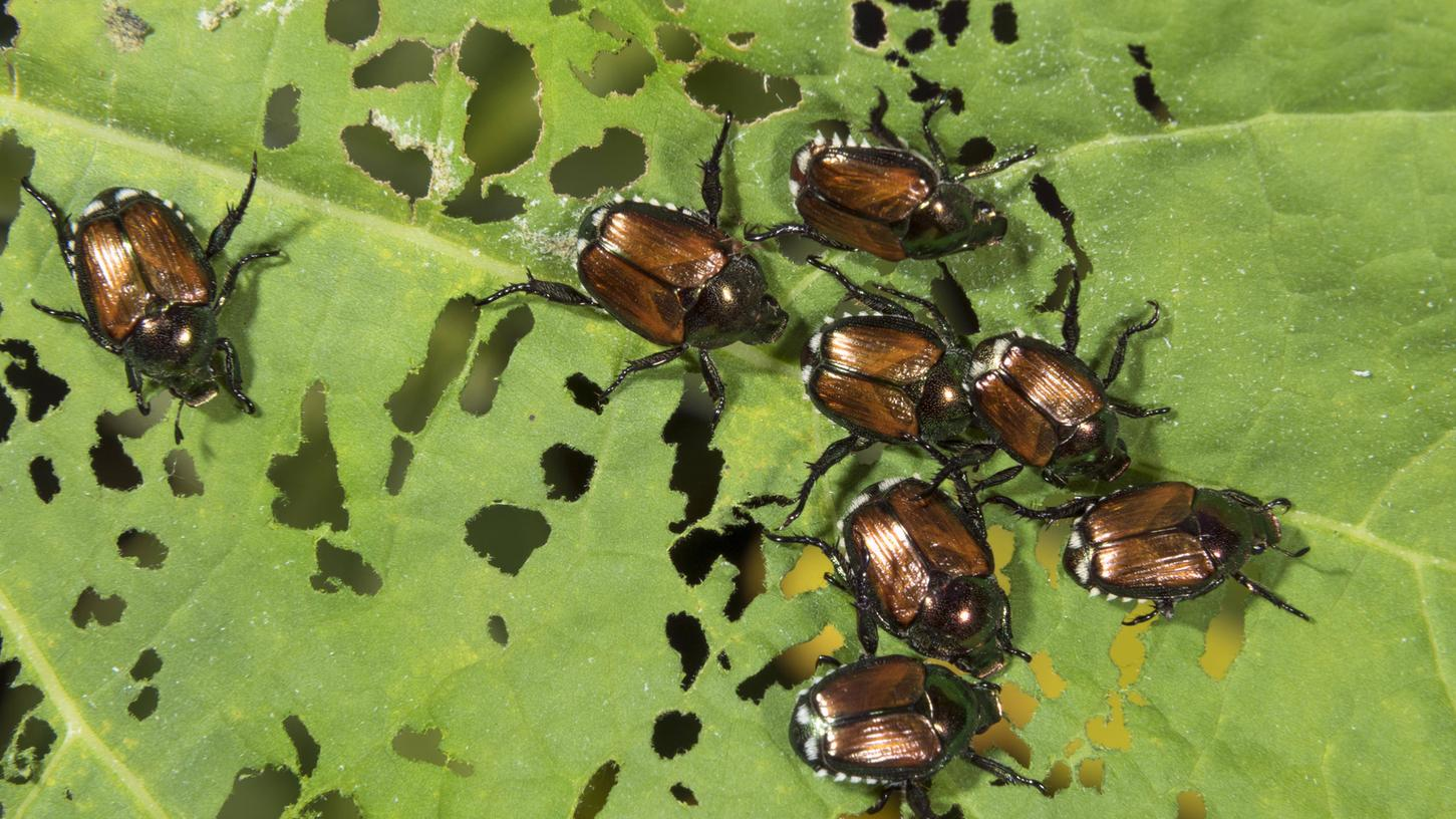 Pflanzenschützer alarmiert: Fangen Sie diese Käfer - tot oder lebendig!