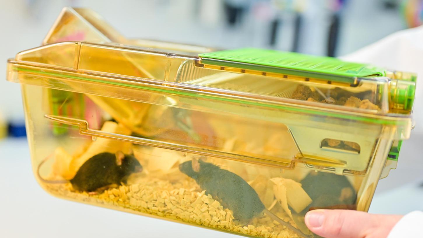 Tierversuche werden sehr häufig mit Mäusen oder Ratten gemacht.