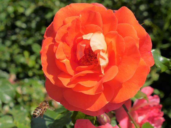 Diese Rose der Sorte