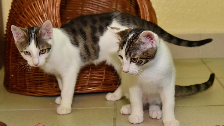 Das sind die beiden Katzenkinder Nike und Armani. Siewurden im April diesen Jahres geboren und sind nun auf der Suche nach einem gemeinsamen Zuhause. Am liebsten wäre ihnen ein neues Heim mit täglichem Freigang.