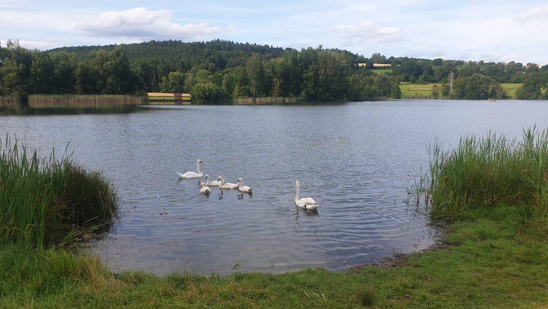 FOTO: 2.8.2021; privat MOTIV: geretteter Schwan; zurück bei seiner Familie am Igelsbachsee; Absberg