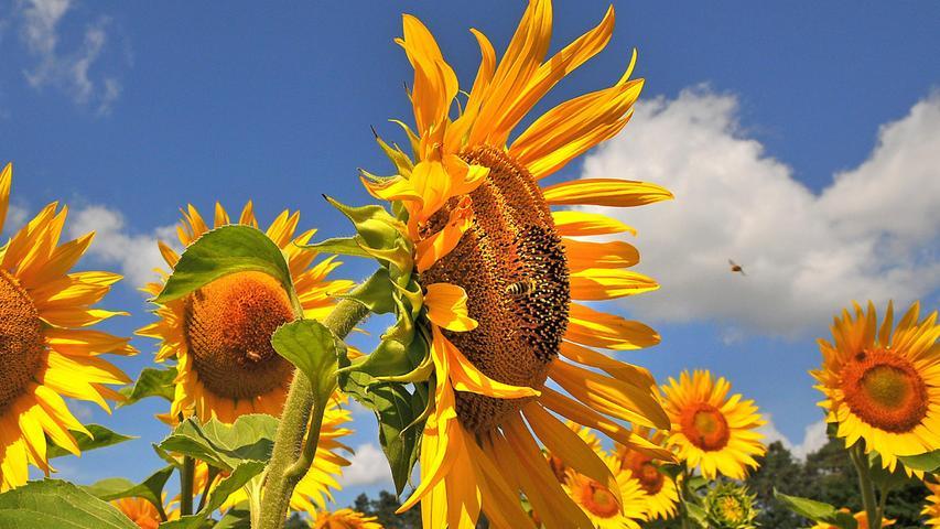 Das Sonnenblumenfeld bei Penzendorf ist eine Freude für Bienen und andere Insekten.