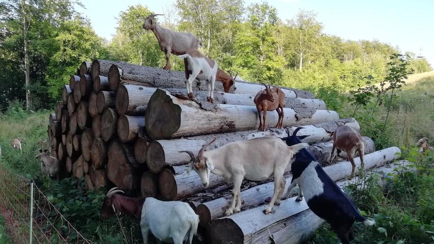 Diese Ziegen befinden sich im wahrsten Sinne des Wortes auf dem Holzweg.