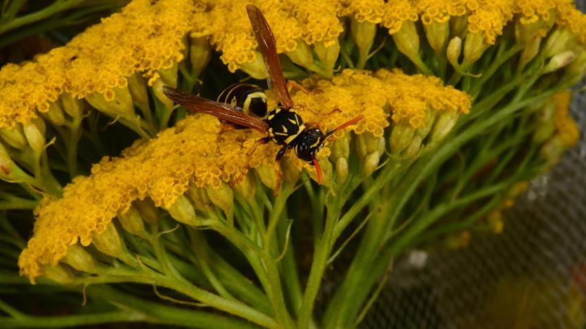 Auf der gelben Blume ist die Wespe fast nur in ihren Schwarztönen zu erkennen.