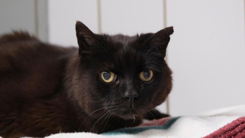 """Die schwarze Katze """"Mauzi"""" mit dem weißen Halsfleck hat da schon wesentlich mehr Lebenserfahrung aufzuweisen, denn die etwa zwölf bis 14 Jahre alte """"Mauzi"""" lebte mitten in Neumarkt und hielt sich dort in verschiedenen Gärten auf. Von schon älteren Leuten wurde sie mit Futter versorgt und so verwandelte sich """"Mauzi"""" im Laufe der Jahre von der fauchenden Streunerkatze in eine Katze, die sich von ihrer Bezugsperson nicht nur streicheln, sondern auch tragen ließ. Nachdem die Versorger von """"Mauzi"""" nun in ein Seniorenheim übersiedeln müssen, wird für die wohlgenährte """"Mauzi"""" ein neues Zuhause gesucht, gerne bei schon älteren, ruhigen Leuten, die anfangs etwas Geduld mit ihr haben sollten. Erfahrung mit Katzen, die sich nicht gleich knuddeln lassen, wäre von Vorteil. """"Mauzi"""" wird bestimmt schnell erkennen, dass man es gut mit ihr meint. Und wenn """"Mauzi"""", die an Freigang gewöhnt war, nach der Eingewöhnungszeit wieder einen Garten hätte, wäre ihre kleine Welt wieder im Lot.Um die Ausbreitung der Pandemie nicht zu fördern und um unsere Mitarbeiter und Besucher zu schützen, wurde das Tierheim Neumarkt komplett für Besucher, Gassigeher und Katzenstreichler geschlossen. Um den Tieren jedoch nicht die Chance auf ein neues Zuhause zu verbauen, finden Tiervermittlung und Beratung dennoch telefonisch beziehungsweise nach vorheriger Terminvereinbarung zwischen 14.30 und 17 Uhr unter Telefon (0 91 81) 2 28 62 statt. In Notfällen und im Falle von Fundtieren ist das Tierheim ebenfalls unter dieser Telefonnummer erreichbar. Hier geht es zur Internet-Seite des Tierheims"""