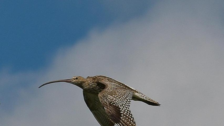 Ein Großer Brachvogel - erkennbar an seinem markanten Schnabel - im Flug. Dieser hat sein Brutgebiet im Wiesmet zwischen Ornbau und dem Altmühlsee. Leider wird er immer seltener und sein Bestand ist stark gefährdet.