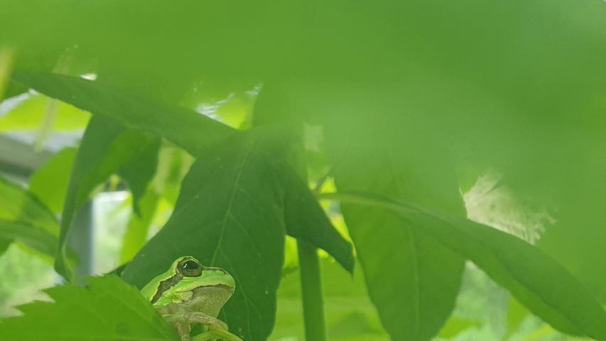 Dieser Frosch im Freiland-Terrarium in Stein ist sich seiner Tarnfarbe voll bewusst.
