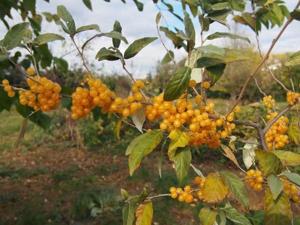 Die leuchtend orangen Früchte der Essbaren Ölweide laden in Kirchberg am Wagram zum Pflücken und Genießen ein.
