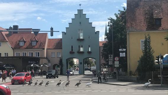 Im Gänsemarsch: Die Neumarkter Schwäne auf Tour am Unteren Tor