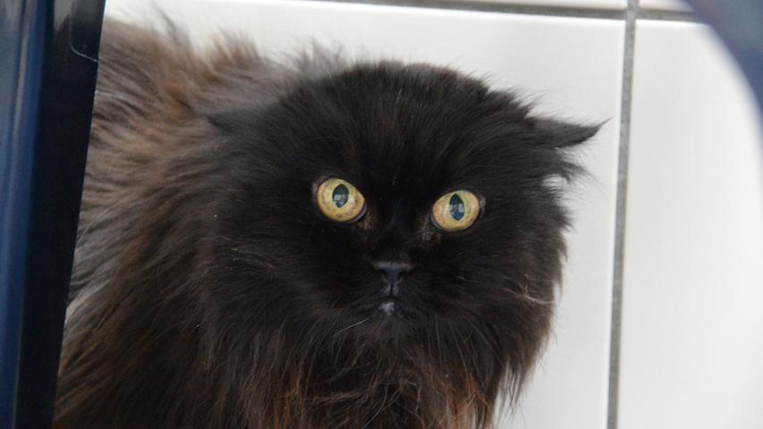 """Perserkatze Kimmi ist eine richtige Katze – mit starkem Charakter, etwas eigen. Sie kommt von alleine zum Schmusen und ist unbestechlich.Die 17 Jahre alte Seniorin wünscht sich sehr ein Zuhause, """"aber eines, in dem sie leben kann, wie sie möchte"""", betonen die Tierpfleger. Angefasst zu werden, gerade von Fremden, ist gar nicht ihr Ding und sie braucht viel Eingewöhnungszeit. Auch Tiere oder Kinder sollten nicht im neuen Zuhause leben, am schönsten wäre ein ruhiges Plätzchen mit einer verständnisvollen Bezugsperson. """"Es kann sein, dass ihr Kimmi erst einmal selten seht, sie dann einfach mal beobachtet, bis sie von sich aus Kontakt aufnimmt"""", sagen die Tierpfleger. Trotz ihres Alters ist Kimmi in einem guten gesundheitlichen Zustand, lediglich die Nierenwerte sind etwas erhöht, dafür bekommt sie nur etwas Unterstützendes. Wer bereitet der Katzendame noch eine schöne Zeit, so wie sie sie sich vorstellt?  Mehr Informationen gibt es beim Tierheim Nürnberg, Stadenstraße 90, 90491 Nürnberg, Telefon (0911) 919890."""