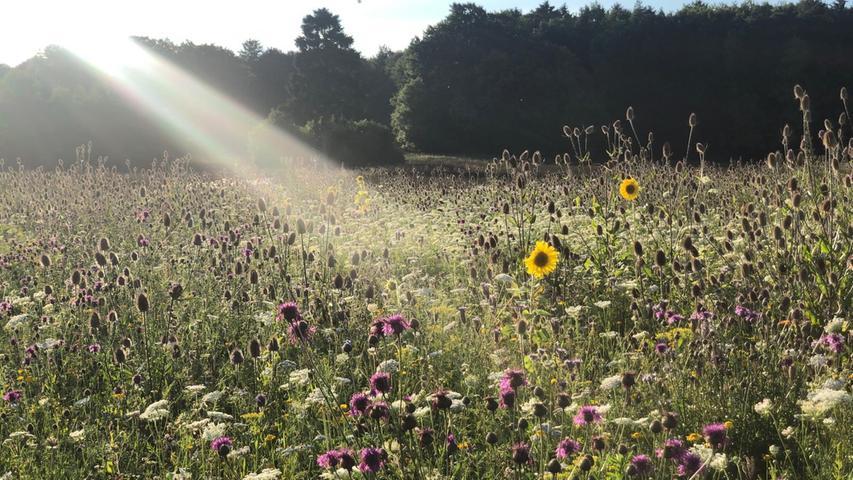 Die Abendsonne sendet ihre Strahlen auf eine Blumenwiese wie aus dem Bilderbuch.
