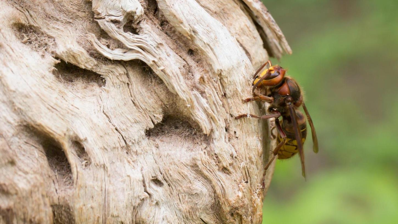 Hornissen sind friedfertige Tiere. Sie stechen nur, wenn sie sich bedroht fühlen. Wer einen Sicherheitsabstand zum Nest einhält, hat nichts zu befürchten.