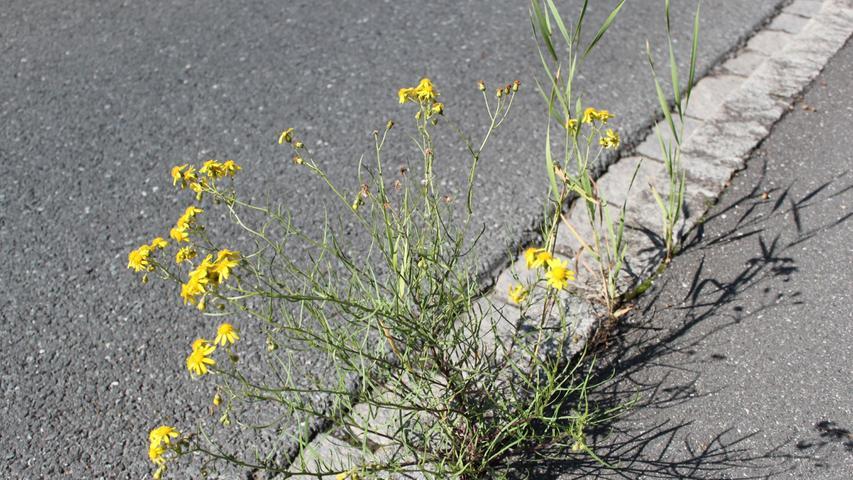 Steine? Asphalt? Davon lässt sich diese Pflanze doch nicht aufhalten.