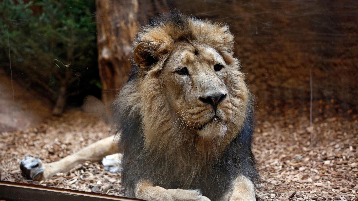 Löwe Subali im Tiergarten. Sein Tod hat viele Menschen bewegt.