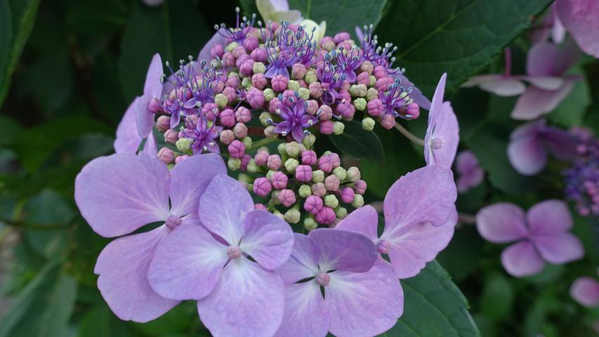 Von der Knospe bis zum Feuerwerk an Farben: An dieser Hortensienblüte ist alles zu sehen.