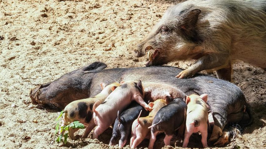 Der Nachwuchs der Minischweine im Nürnberger Tiergarten labt sich