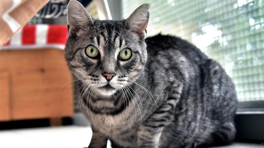 Kater Moritz ist ein grau getigerter, ca. 2009 geborener Kater. Leider hatte sein Besitzer eine Katzenhaarallergie entwickelt, weshalb Moritz ins Tierheim musste. Moritz würde gerne als Einzelkatze mit täglichem Freigang vermittelt werden.
