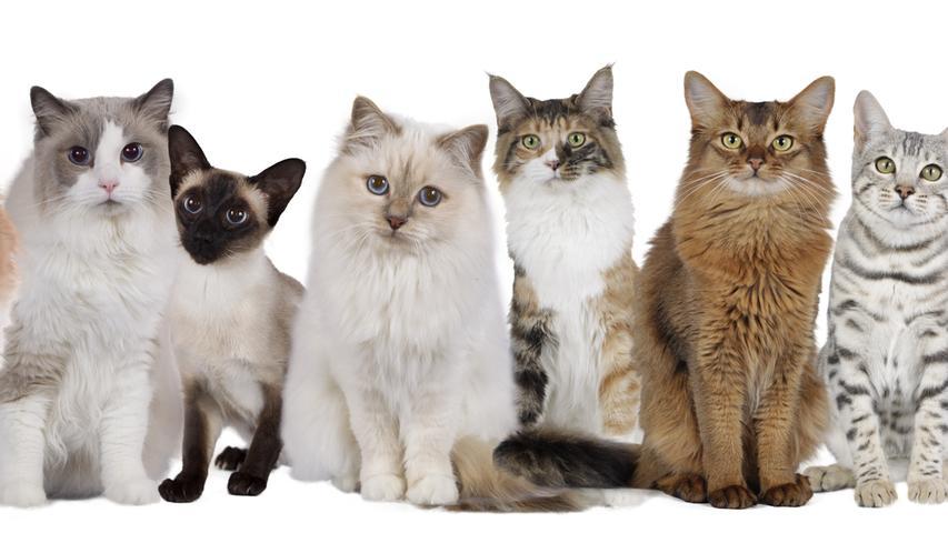 Wie gut kennen Sie diese Katzenrassen? Testen Sie Ihr Wissen!