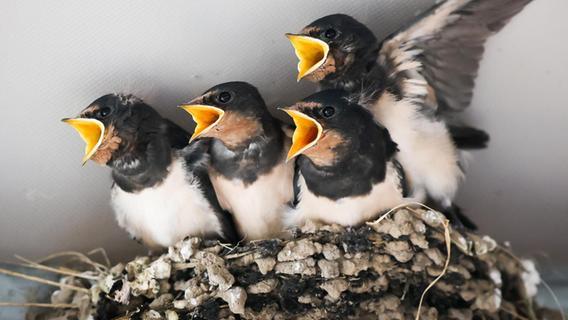 33 Nester: Cadolzburger Familie hat ein Herz für Schwalben