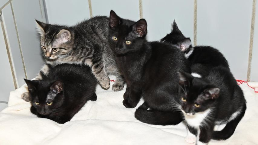 """Traum-Plätze wünscht man sich im Tierheim Neumarkt auch für die fünf Katzenkinder namens """"Luis"""", """"Loris"""", """"Laurin"""", """"Lillifee"""" und """"Lara"""". Die kleine Rasselbande wurde am 19. Mai im Tierheim geboren und die Kätzchen sind nun groß genug, um sich eigene Familien zu suchen. Interessenten für diese Kätzchen sollten bereit sein, über eventuelle Flurschäden hinwegzusehen, denn Katzenkinder sind oft ungestüm und temperamentvoll. Dass es sich um ein Für-immer-Zuhause handeln sollte, ist selbstverständlich. Auch werden die Kätzchen bevorzugt nur zu zweit abgegeben oder zu einem etwa gleichaltrigen, bereits vorhandenen Kätzchen dazu.Um die Ausbreitung der Pandemie nicht zu fördern und um unsere Mitarbeiter und Besucher zu schützen, wurde das Tierheim Neumarkt komplett für Besucher, Gassigeher und Katzenstreichler geschlossen. Um den Tieren jedoch nicht die Chance auf ein neues Zuhause zu verbauen, finden Tiervermittlung und Beratung dennoch telefonisch beziehungsweise nach vorheriger Terminvereinbarung zwischen 14.30 und 17 Uhr unter Telefon (0 91 81) 2 28 62 statt. In Notfällen und im Falle von Fundtieren ist das Tierheim ebenfalls unter dieser Telefonnummer erreichbar. Hier geht es zur Internet-Seite des Tierheims"""